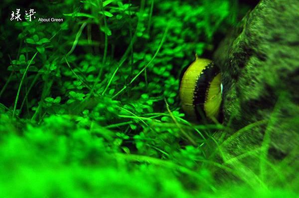 蜜蜂角螺.jpg