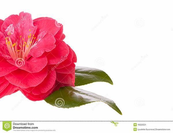 山茶花粉红色-19222521