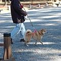 DSC_0553-1 柴犬.JPG