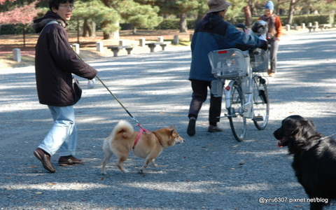 DSC_0554-1柴犬.JPG