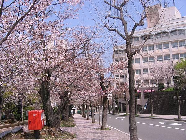 原爆和平公園旁的櫻花道