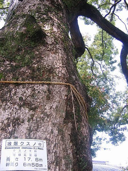 原爆受害樹