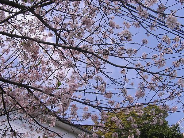長崎的櫻花