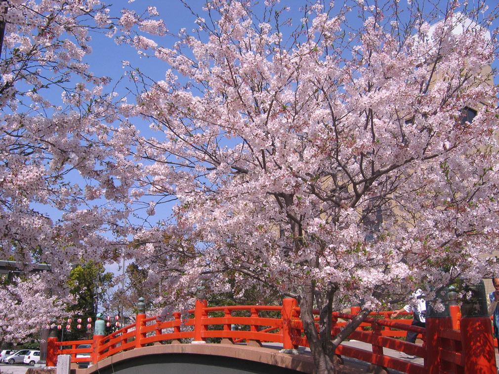 柳川紅橋+櫻花