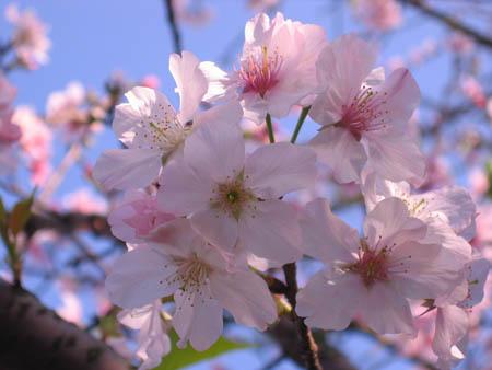 天元宮櫻花1