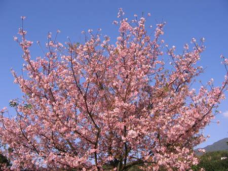 塔旁滿開櫻花樹