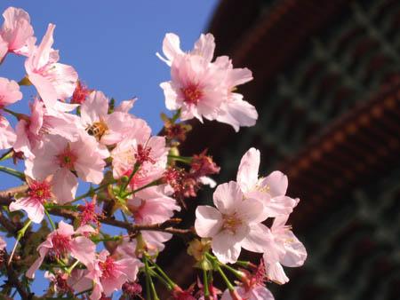 櫻花與蜜蜂
