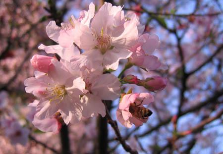 天元宮櫻花4