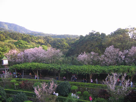 粉色櫻花點綴綠林