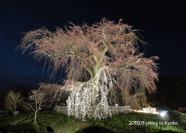 2015京都夜櫻~円山公園 01