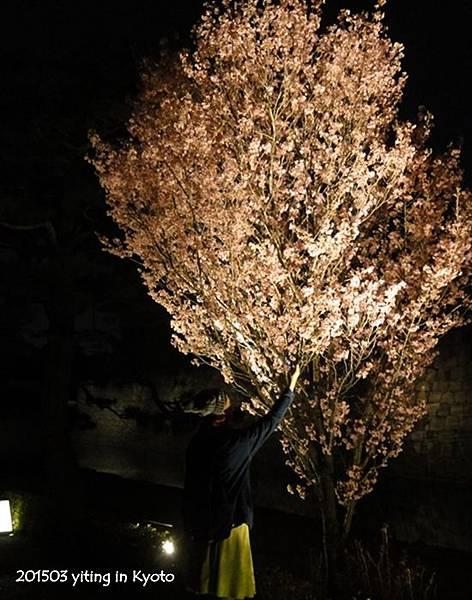 2015京都夜櫻~二条城 09