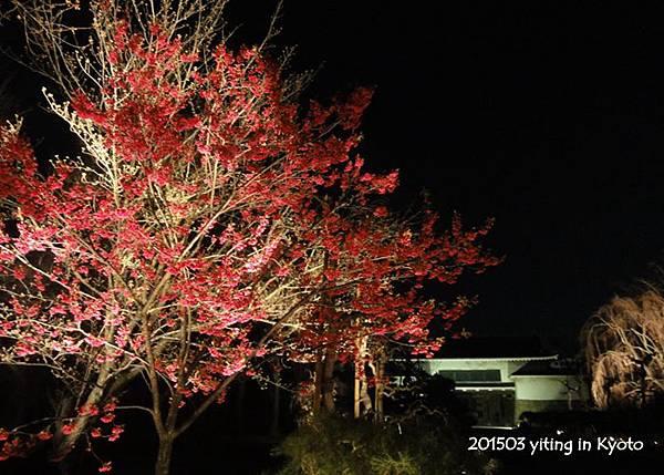2015京都夜櫻~二条城 11