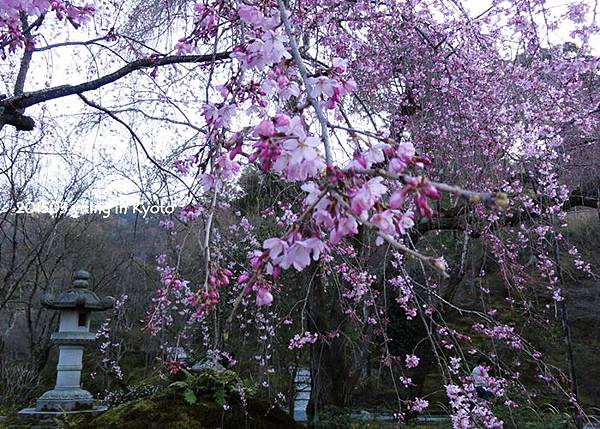 京都賞櫻~嵐山天龍寺 ㄅㄢ