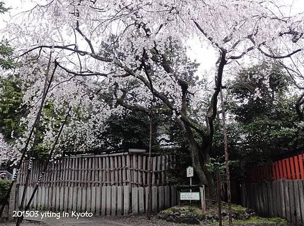 京都賞櫻~嵐山車折神社 03