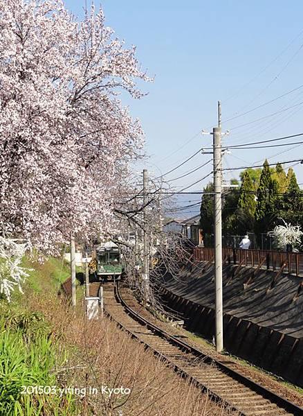 京都賞櫻~嵐山櫻花隧道 02