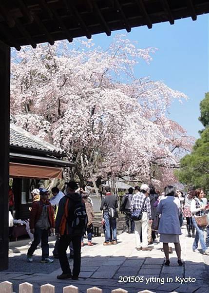 京都賞櫻~醍醐寺三寶院