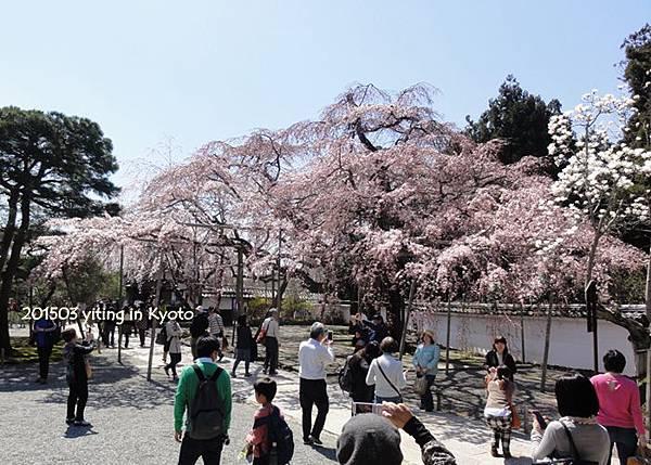 京都賞櫻~醍醐寺三寶院 0