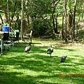 營地旁湊熱鬧的孔雀