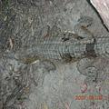 達爾文特產-鱷魚