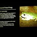 大眼綠蛙的名字與介紹