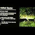圓尾巴蜥蜴的名字與介紹