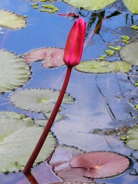 紅蓮與粉紅蜻蜓