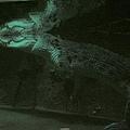 超巨大鹹水鱷魚