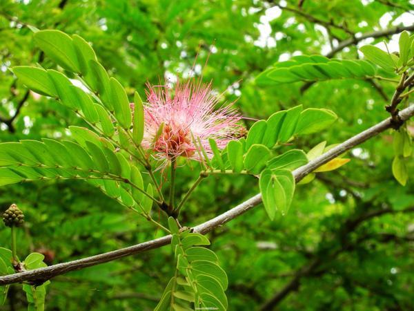 休息站後院的紅毛花樹