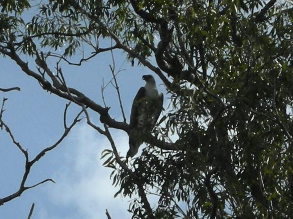 樹上海鷹sea eagle