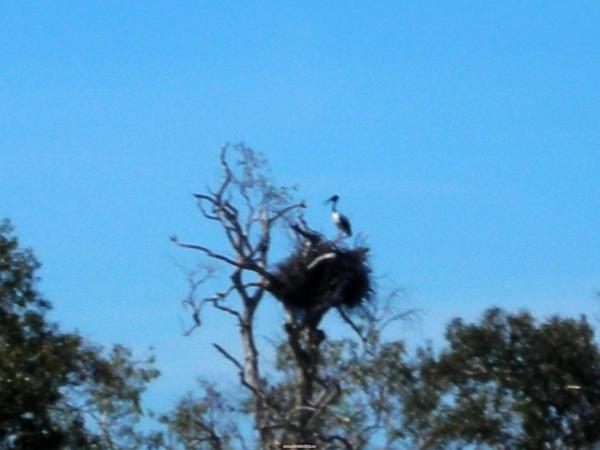 Jabaru鳥跟牠的巢