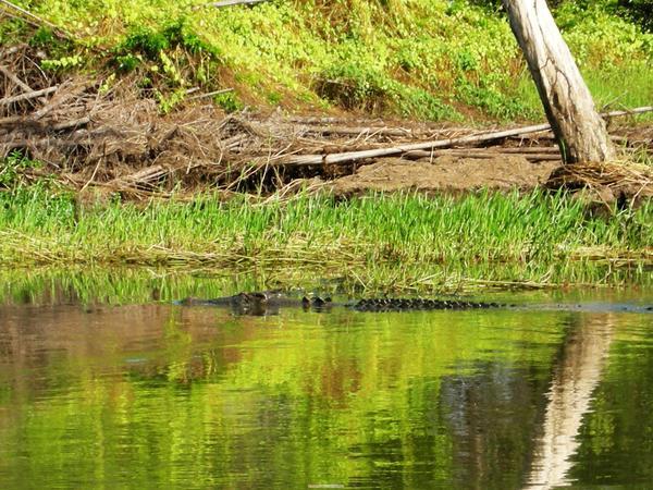 會吃人的鱷魚就在旁邊游過