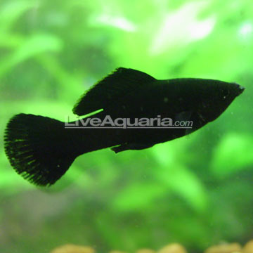 sailfin-molly.jpg