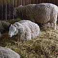 小岩井農場的羊ㄇㄟㄇㄟ