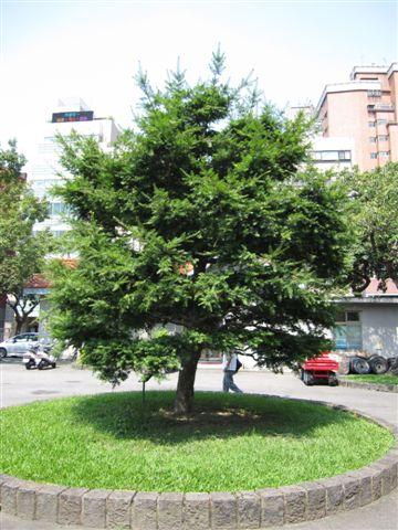 台灣油杉(2011.8.7)IMG_3319.JPG