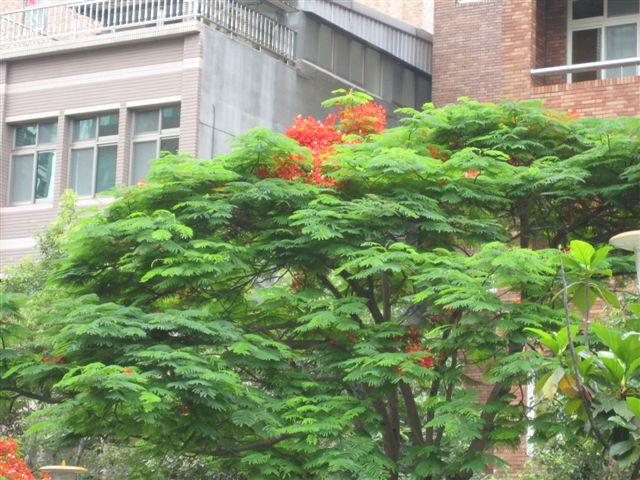 鳳凰樹(2011.6.4)IMG_2753.JPG