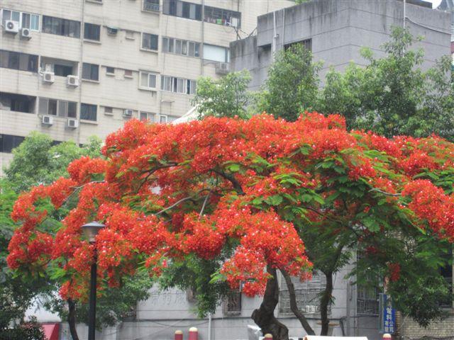 鳳凰樹(2011.6.4)IMG_2752.JPG