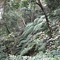 錫隘古道上的一片台灣寶---金狗毛