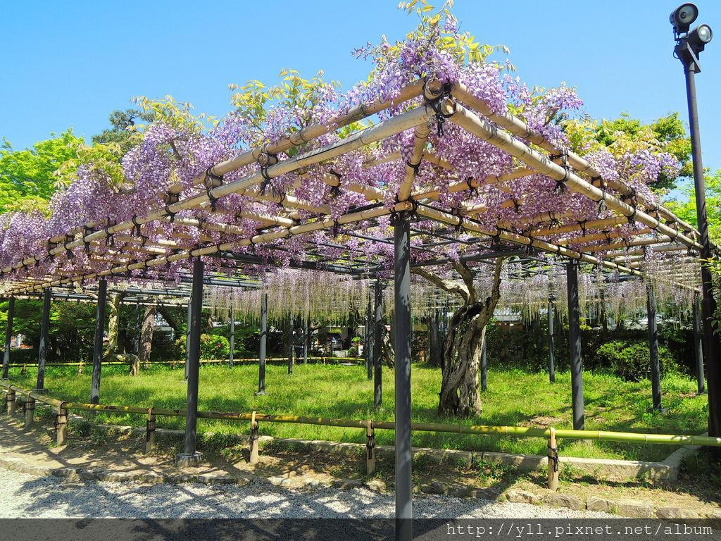 宇治平等院紫藤花