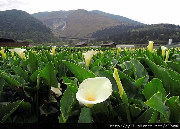 竹子湖 頂湖海芋