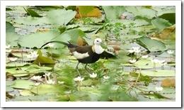 1070429於台灣水雉園區拍攝水雉鳥的倩影