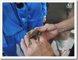 介紹班腿樹蛙與布氏樹蛙的不同