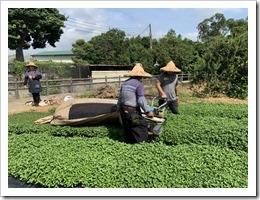 紫城場長用採茶機協力採收