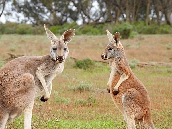 kangaroos-1563624_1280.jpg