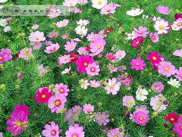 2012新社花毯節05