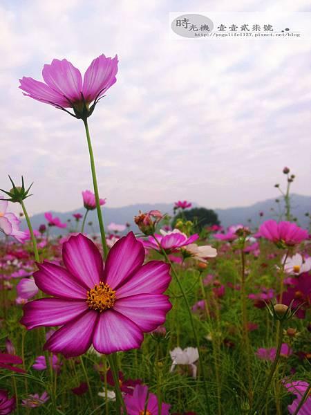2012新社花毯節07