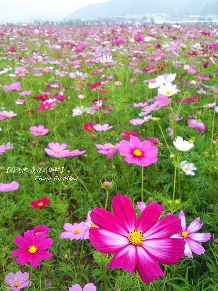 2012新社花毯節08