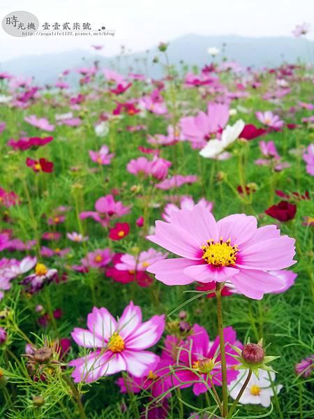 2012新社花毯節13