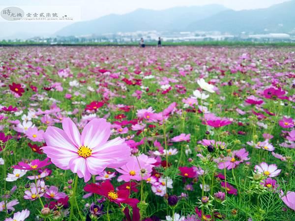 2012新社花毯節14