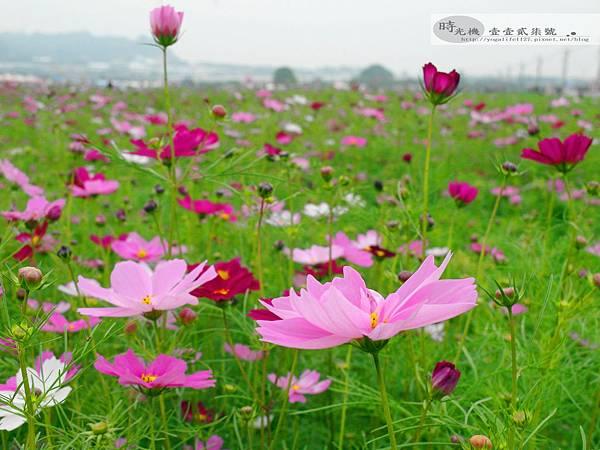 2012新社花毯節45