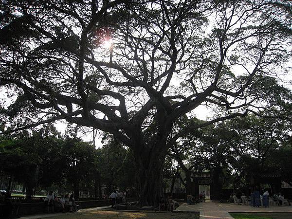 孔廟的大榕樹